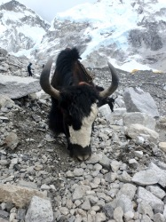 Yaks work at altitude carrying supplies