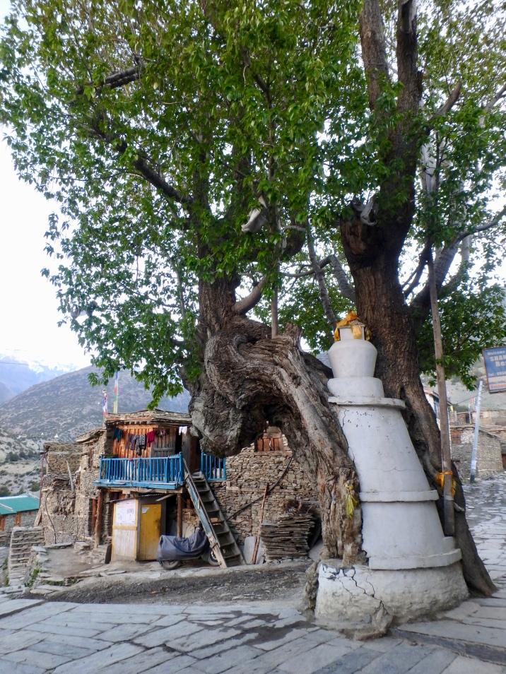 A stupa within a tree